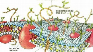 Drawing of a cell membrane © Dana Woods / Scientific American