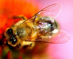 Honey bee teenagers speed up the ageing process of their elders