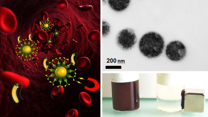 Bacteria can be removed by magnetic blood purification (left). A suspension with