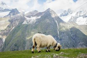 Blacknose sheep are primarily reared in the Upper Valais. © iStock