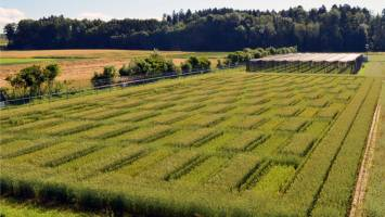 The wheat lines arranged in a checkerboard pattern. (Wheat field in Zurich-Affol