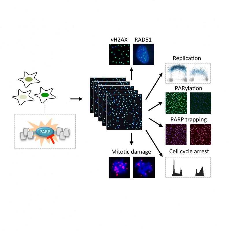 Multidimensional analysis of PARP toxicity by cell cycle resolved automated high