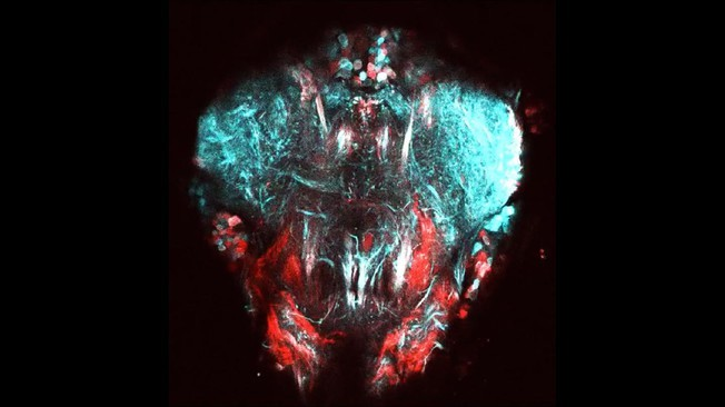Two-photon image of neural tissue controlling the front legs of the fly. Neurons