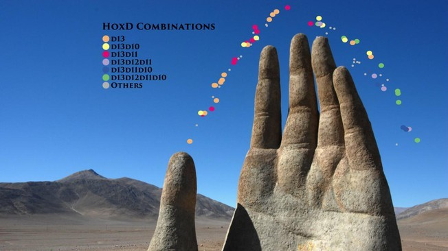 Growing hand with HoxD combinatorial code (credit: P. Fabre and Q. Lo Giudice, U