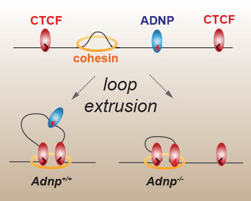 ADNP is not a loop extrusion barrier and masks underlying CTCF motifs.  Loss of