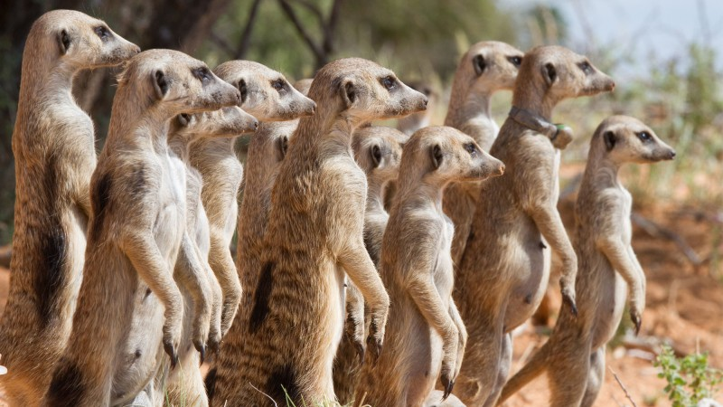 Meerkats are cooperative breeders that live in social groups. A dominant female