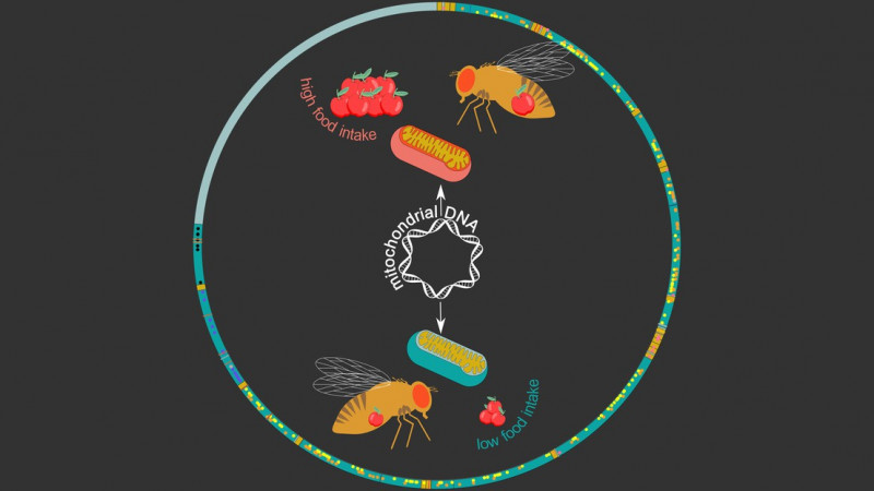 The Drosophila mitochondrial genome (circle). Credit: Maria Litovchenko/Roel Bev