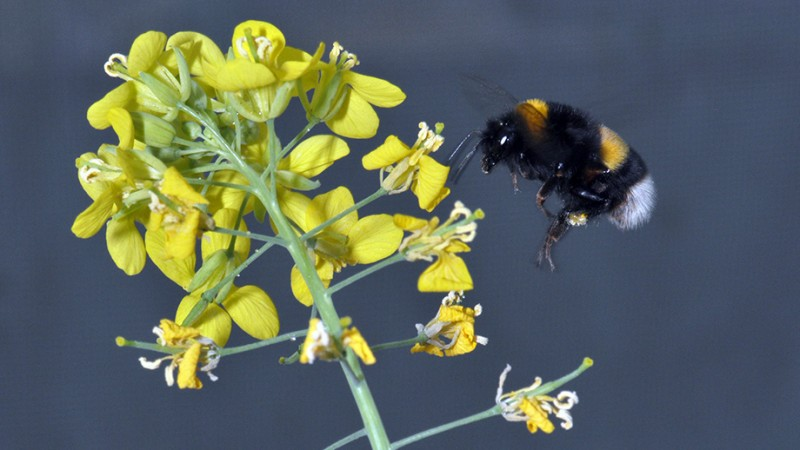 Brassica rapa pollinated by bumblebees has more attractive flowers. (Image: Flor