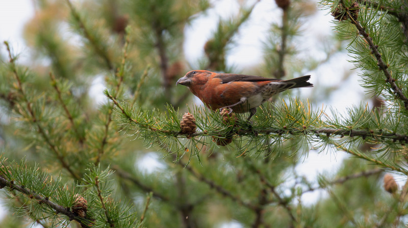 The crossbill is one of the most functionally distinctive species included in th