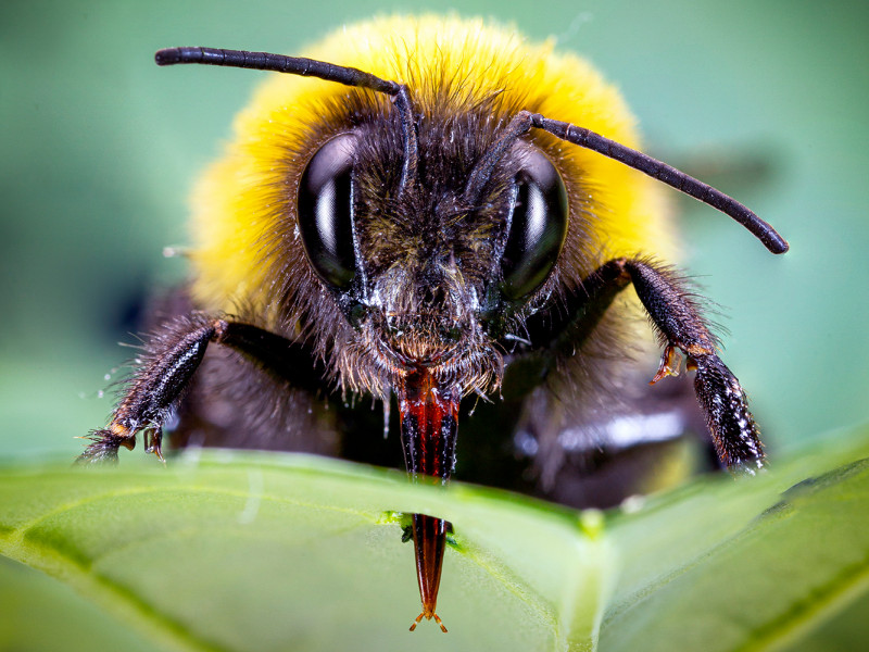 If bumblebees find too little pollen, they pierce the leaves of non-flowering pl