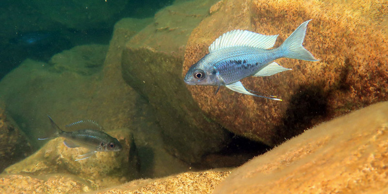 Ophthalmotilapia ventralis, a cichlid from Lake Tanganyika. (Photo: Adrian Inder