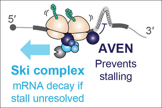 Schematic diagram summarizing key findings: AVEN prevents ribosome stalls and th