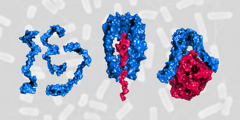 Three Skp proteins (blue) form a stable structure and transport unfolded outer m
