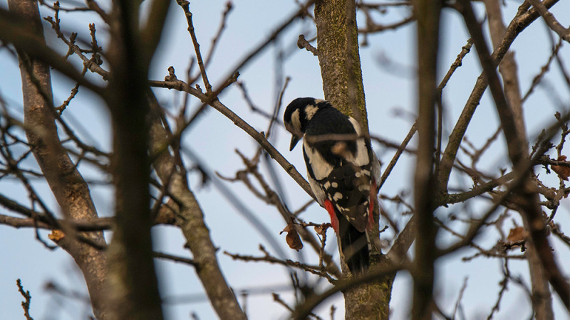 Great spotted woodpecker during the field experiment. (Picture: Alain Blanc, ENE