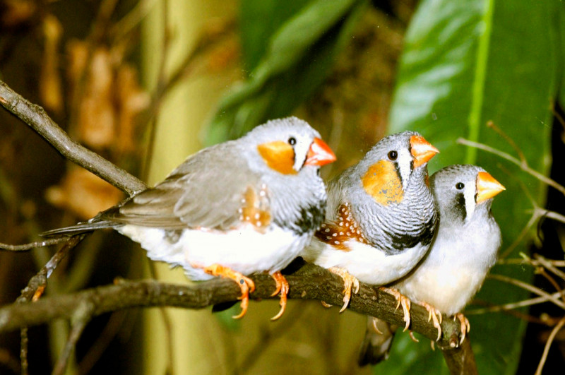Zebra finches learn their courtship song efficiently