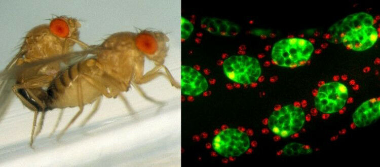 Drosophila accessory glands consisting of two cell types (green 'secondary