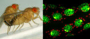 How the fly selects its reproductive male