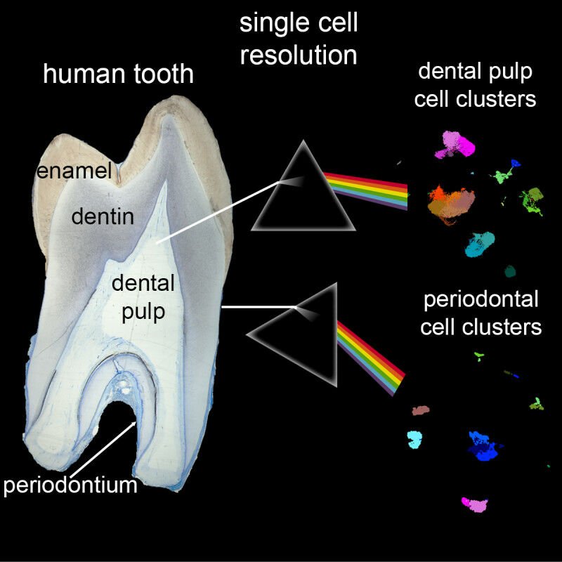 Composition of a tooth (Image: zvg)