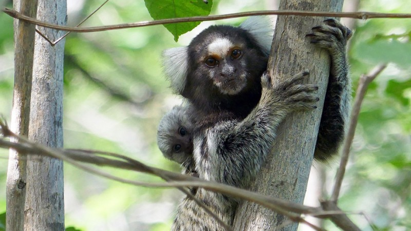 Callitrichids, like these common marmosets, usually give birth to two infants. T