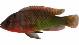 Typical nuptial coloration of a male cichlid - Pundamilia sp. 'red head' - from