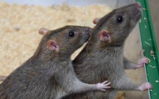 A rat helps another to clean its neck from saltwater. © Institute of Ecology and