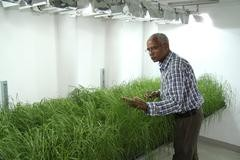 Zerihun Tadele with the stronger tef plants at the Institute of Plant Sciences