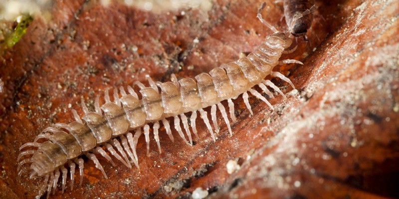 The millipede species 'Polydesmus angustus' was found in several gar
