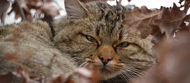 The European wildcat (Felis silvestris), or forest cat, may disappear within 200
